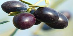 Click to view album: CALAMON BLACK OLIVES